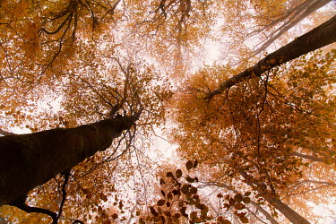 Carmen Spitznagel TALL AUTUMN TREES FROM BELOW Trees/Forest