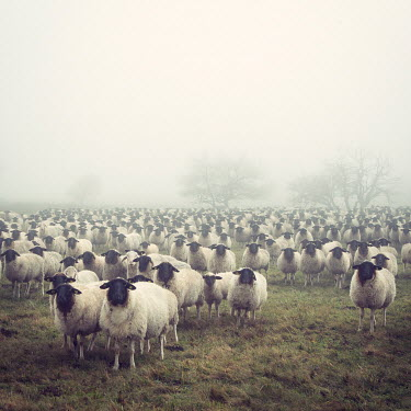 Carmen Spitznagel LARGE FLOCK OF SHEEP IN WINTRY FIELD Animals