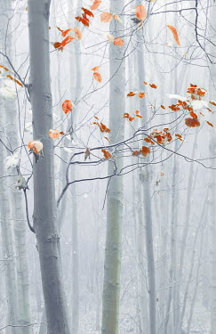 Svetlana Sewell AUTUMN TREE IN FOGGY FOREST Trees/Forest