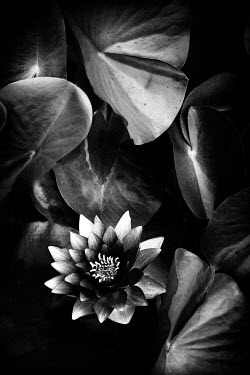 Christine Amat LOTUS FLOWER AND LEAVES Flowers/Plants