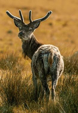 Jaroslaw Blaminsky CLOSE UP OF ADULT DEER IN COUNTRYSIDE Animals