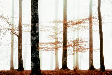 Lars van de Goor MISTY FOREST WITH AUTUMN LEAVES Trees/Forest