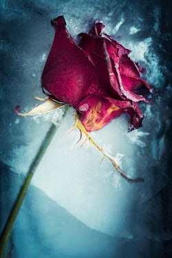 Laura Ranftler PINK ROSE LYING ON ICE Flowers