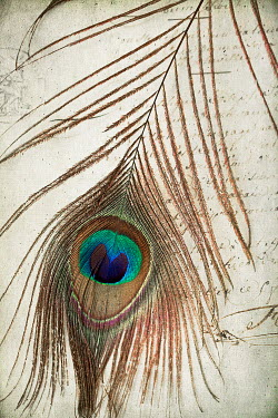 Alison Archinuk PEACOCK FEATHER ON OLD LETTER Miscellaneous Objects