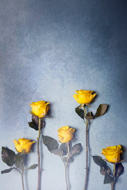 Miguel Sobreira YELLOW ROSES ON BLUE BACKGROUND Flowers