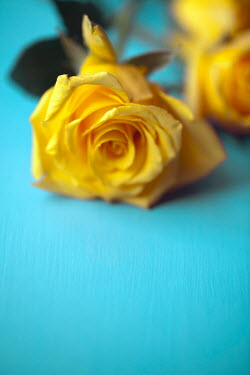 Miguel Sobreira YELLOW ROSE ON BLUE BACKGROUND Flowers