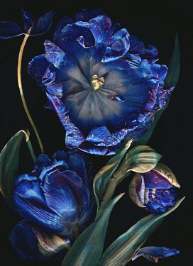 Magdalena Wasiczek CLOSE UP OF WITHERED BLUE TULIPS Flowers