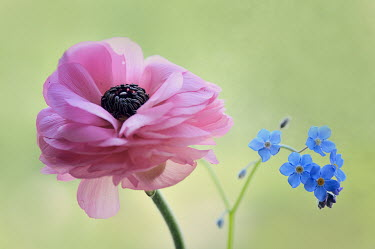 Magdalena Wasiczek CLOSE UP OF PINK AND BLUE FLOWERS Flowers/Plants
