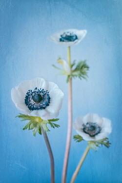 Magdalena Wasiczek WHITE FLOWERS WITH BLUE STAMEN Flowers