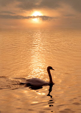 Adrian Leslie Campfield SWAN ON WATER AT SUNSET Birds
