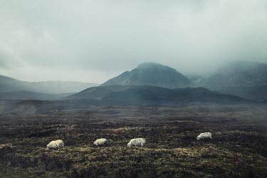 Evelina Kremsdorf SHEEP GRAZING NEAR MOUNTAINS Fields