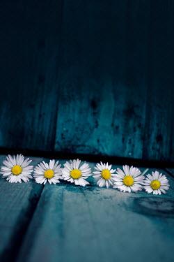 Stephen Mulcahey wild Daisies Flowers