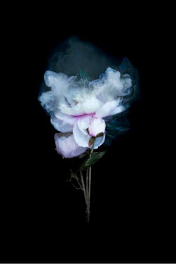 Meg Cowell FLOWERS WITH MIST ON BLACK BACKGROUND Flowers