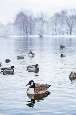 Evelina Kremsdorf LAKE IN WINTER WITH DUCKS Lakes/Rivers