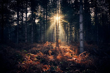 Chris Reeve FOREST WITH SUNBEAMS AT SUNSET Trees/Forest
