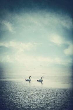 Magdalena Russocka TWO WHITE SWANS ON MISTY RIVER Birds