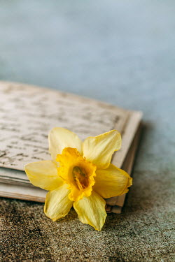 Des Panteva YELLOW DAFFODIL ON OLD POSTCARDS Flowers