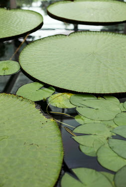 Holly Leedham CLOSE UP OF HUGE LILY PADS Flowers/Plants