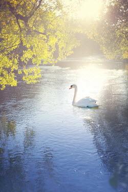 Susan Fox SWAN FLOATING ON RIVER IN SUNLIGHT Birds