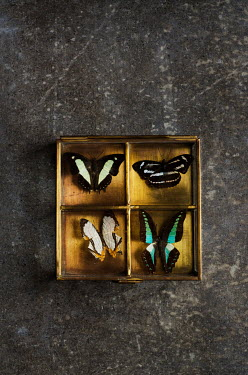 Cristina Mitchell BUTTERFLIES IN WOODEN BOX Insects