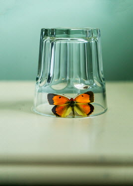 Stephen Mulcahey A butterfly trapped under a glass Insects
