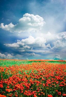 Jitka Saniova POPPY FIELD WITH SKY AND CLOUDS Fields
