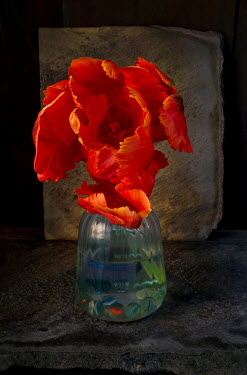 Allan Jenkins TULIP IN GLASS VASE WITH MARBLES Flowers