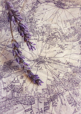 Jane Morley LAVENDER ON FRENCH MAP Flowers