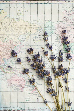 Susan O'Connor LAVENDER LYING ON MAP Flowers