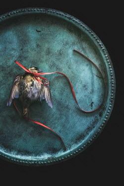 Magdalena Wasiczek DEAD BIRD WITH RIBBON AROUND NECK Birds