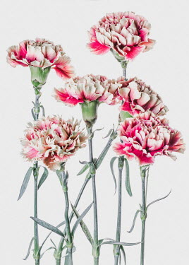Magdalena Wasiczek CLOSE UP OF PINK CARNATIONS Flowers/Plants