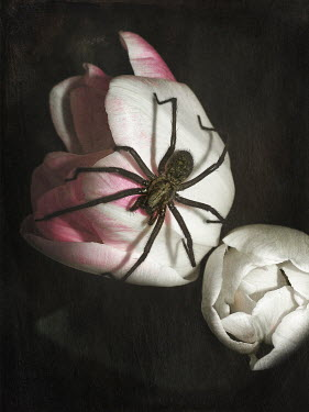 Magdalena Wasiczek LARGE SPIDER ON PEONY Insects