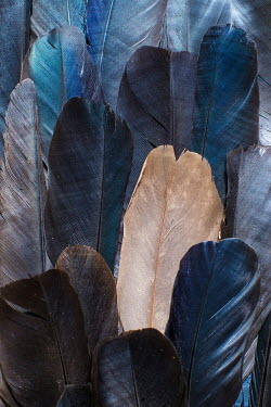 Benjamin Harte CLOSE UP OF BLUE AND WHITE FEATHERS Birds