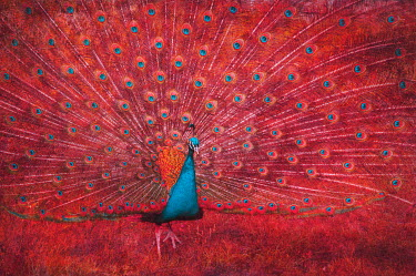 Magdalena Wasiczek RED PEACOCK WITH OPEN FEATHERS Birds
