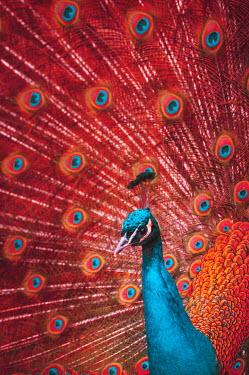 Magdalena Wasiczek CLOSE UP OF RED PEACOCK Birds