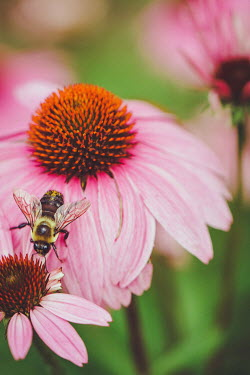 Susan O'Connor BEE ON PINK FLOWER Flowers/Plants