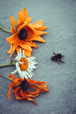 Susan O'Connor DEAD FLOWERS AND DEAD BEE Flowers/Plants