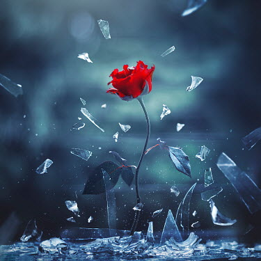 Ashraful Arefin ROSE WITH FLYING SMASHED GLASS Flowers