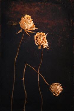 Magdalena Wasiczek THREE DEAD YELLOW ROSES Flowers