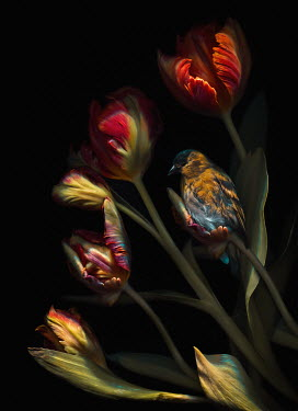 Magdalena Wasiczek CLOSE UP OF BIRD ON RED TULIPS Birds