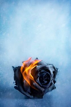 Amy Weiss BURNING BLACK ROSE FLOWER Flowers