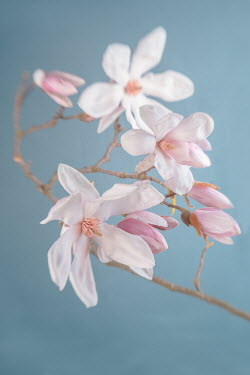 Magdalena Wasiczek PINK AND WHITE MAGNOLIA Flowers