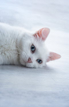 Jill Ferry WHITE CAT WITH BLUE EYES Animals