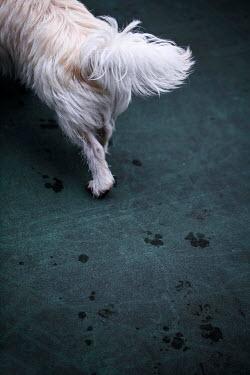 Jean Ladzinski WHITE DOG WITH WET PAW MARKS Animals