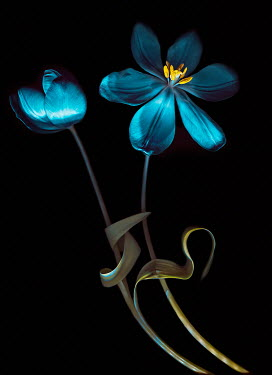 Magdalena Wasiczek CLOSE UP OF BLUE TULIPS Flowers