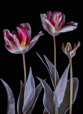 Magdalena Wasiczek CLOSE UP OF PINK AND WHITE TULIPS Flowers