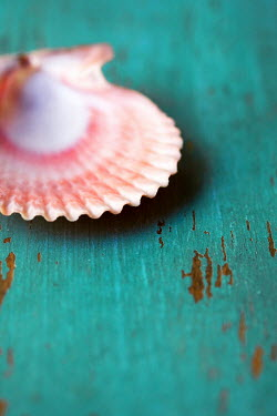 Susan Fox CLOSE UP OF PINK SEASHELL Miscellaneous Objects