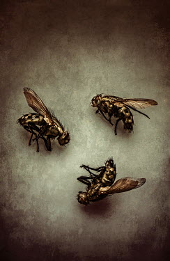 Jaroslaw Blaminsky close up of three dead flies Insects
