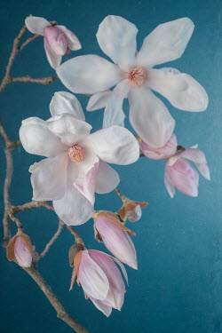 Magdalena Wasiczek CLOSE UP OF MAGNOLIA FLOWERS Trees/Forest