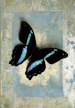 Jude McConkey CLOSE UP OF BLACK AND BLUE BUTTERFLY Insects